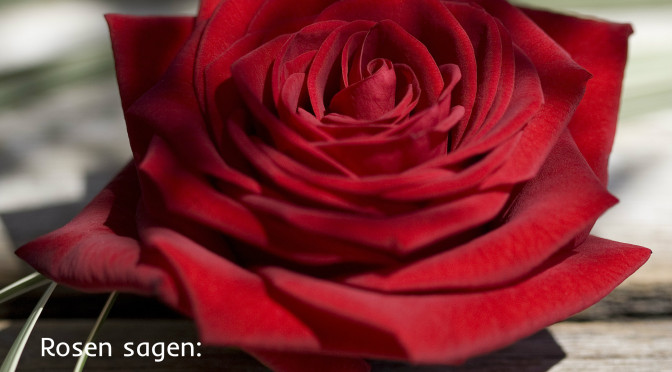 Tag der roten Rose